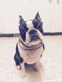 @fionatheboston #fionatheboston dog in jewelry!