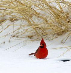 Cardinal in Snow. Oklahoma Male Cardinal in Snow. OklahomaMale Cardinal in Snow. Oklahoma Male Cardinal in Snow. Pretty Birds, Love Birds, Beautiful Birds, Animals Beautiful, Especie Animal, Mundo Animal, Animals And Pets, Cute Animals, State Birds
