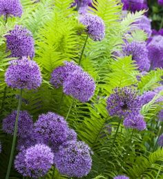 A brilliant ostrich fern which grows in shady, damp areas, and looks especially good planted with alliums