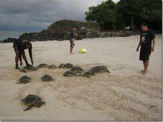 Coiba, cuna de la tortuga Carey en el Pacífico Oriental - http://panamadeverdad.com/2014/09/19/coiba-cuna-de-la-tortuga-carey-en-el-pacifico-oriental/