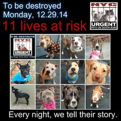 TO BE DESTROYED: 11 Dogs to be euthanized by NYC ACC- MON. 12/29/14. This is a HIGH KILL shelter group. YOU may be the only hope for these pups! ****PLEASE SHARE EVERYWHERE!!!To rescue a Death Row Dog, Please read this:  http://urgentpetsondeathrow.org/must-read/    To view the full album, please click here:    https://www.facebook.com/media/set/?set=a.611290788883804.1073741851.152876678058553&type=3