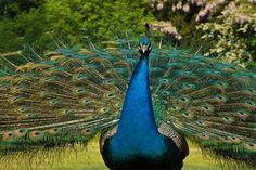Peacock in the Boise de Boulogne