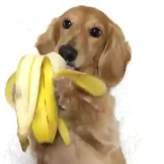 This dog is bananas 😁 Dachshund Puppies, Dachshund Love, Cute Dogs And Puppies, Baby Dogs, Cute Funny Dogs, Cute Funny Animals, Cute Baby Animals, Cute Dog Pictures, Funny Animal Pictures