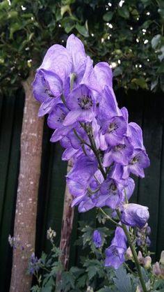 Monnikskap -Aconitum....ook zo'n geweldige herfstbloeier!!
