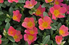 Portulaca Danzinger Pazazz Pink Glow - I'd like these by the mailbox. Maybe with yellow lantana.
