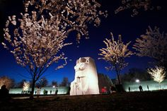 Blooming Cherry blossom trees are seen just after sunset at the Martin Luther King, Jr. Memorial on Tuesday, March along the tidal basin in Washington. Due to unseasonably warm weather the trees are blooming earlier than usual. Cherry Blossom Season, Cherry Blossom Tree, Blossom Trees, Martin Luther King Memorial, Martin Luther King Day, Travel Around The World, Around The Worlds, Spring Air, Bloom