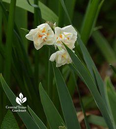 Narcissus abba Central Texas Gardener