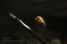 Yin and Yang(Japanese robin) - Pinned by Mak Khalaf japanese name : コマドリ(Komadori) Animals birdbirdsjapannaturewild by himeuran
