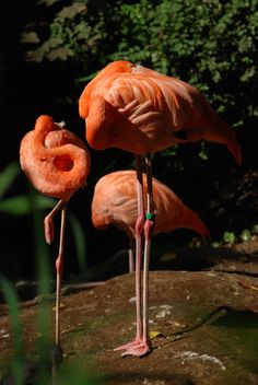 Dierenpark Emmen, Flamingo's