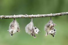 I don't usually think of 'possums as being cute, but these babies are adorable!  Frank Lukasseck