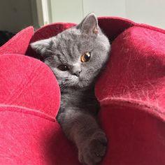 Winnie enjoys her new bed. Shot by: @british_teddybears #BritishShorthair'