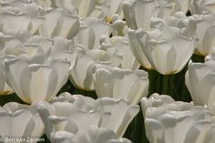 Witte tulpen in tegenlicht