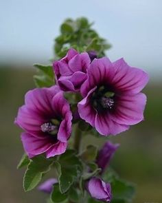 MIX-Annual Mallow (Malope Trifida) - Another beautiful purple flower for you, Mom. You will be missed this holiday season. Amazing Flowers, My Flower, Purple Flowers, Flower Power, Beautiful Flowers, Mallow Flower, Beautiful Pictures, Flower Art, Hibiscus Sabdariffa