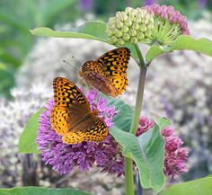 5 Purple Flowers with Butterfly Powers- Purple Milkweed (Asclepias purpurascens) is a favorite purple flower for monarchs and other nectar-seeking butterflies, like these great spangled fritillaries.