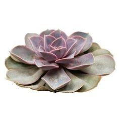 Succulent Pearl Von Neurenberg