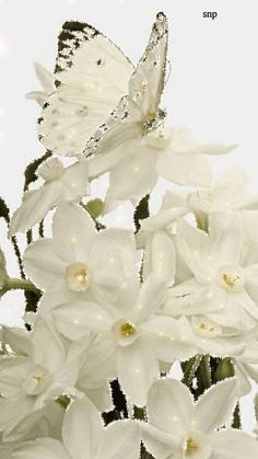 Бабочка капустница на белых нарциссах! - анимация на телефон №1167535