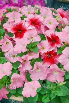 PetuniaFuseables ® Strawberry Wine Petunia Easy Wave ® Shell Pink, und Daddy Red