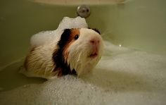 I loved our Guinea Pig Stuart.  I gave him baths and mani/pedi's.  LOL!  He is the only one who would eat veggies with me.  :)