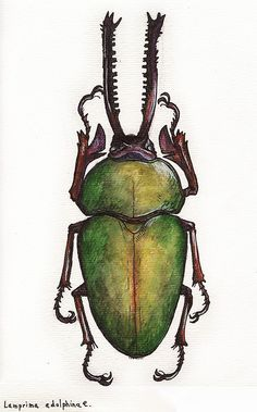 Beetle a Day [Explored] Lamprima adolphinae Beautiful illustration