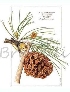 Foglie e frutto di pino domestico, Pinus pinea, con il regolo, regulus