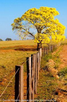 Estava na estrada e não podia perder a oportunidade de fotografar este lindo Ipê amarelo.    Camera Nikon D300S  Lente 70x200 Nikon