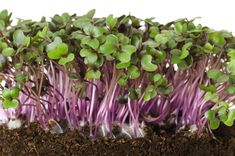 [ Red Cabbage, Fresh Sprouts And Young Leaves Front View Over White. Also Purple Cabbage, Red Or Blue Kraut. Cotyledons Of Brassica Oleracea In Potting Compost.