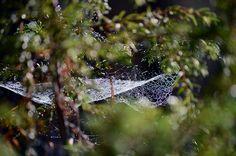 Aamuauringossa kasteinen hämähäkin seitti, Ruunaan syksyssä, 2015