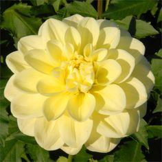 "Swan Island Dahlias: SUN KISSED - Item #631 - 5"" blooms of a soft, clear yellow that compliments almost any color it is put with. Beautiful when cut, holds well, and grows on a bush that produces very strong stems. Nice, full foliage on this 4 1/2' bush. Recommended for cutting."