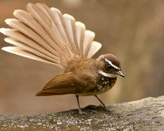 The whitethroated fantail Rhipidura albicollis is a small passerine bird It is found in forest scrub and cultivation across tropical southern Asia from t Birds In The Sky, Birds 2, Love Birds, Beautiful Birds, Pet Birds, World Birds, Brown Bird, Australian Birds, Bird Pictures