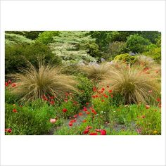 GAP Photos - Garden & Plant Picture Library - The South African Garden with poppies. The Garden House, Yelverton, Devon. - GAP Photos - Specialising in horticultural photography