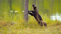Wolverine (Gulo gulo). Finland. Photo by Vittorio Ricci (at https://www.flickr.com/photos/vricci63/17081361150/).