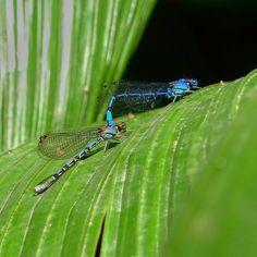 Dragonflies. . . . . . . . . . . . #insect #insecto #dragonfly #libelula #nature #naturephotography #outdoor #photography garden #naturelovers #naturaleza #fotografia #jardin #macro #macrophoto #macrophotography #macroworld #macro_captures #macrolovers #macronature http://tipsrazzi.com/ipost/1509126580311184423/?code=BTxfqEMjFQn