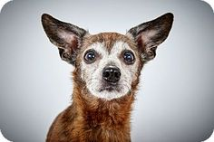 Fred by Richard Phibbs.  He is a Chihuahua Mix up for adoption at the Humane Society of New York.