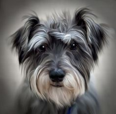 Shop Schnauzer Dog Poster Print created by DogPoundGifts. Personalize it with photos & text or purchase as is! Hyper Realistic Paintings, Animal Paintings, Animal Drawings, Dog Drawings, Schnauzer Art, Miniature Schnauzer Puppies, Schnauzers, Dog Poster, Dog Portraits