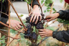 Top Okanagan Picks for Fall 2019 from Okanagan Crush Pad Nutella Mocha, Grape Picking, How To Roast Hazelnuts, Tasting Room, Made Goods, Fresh Fruit, Crushes, Fall