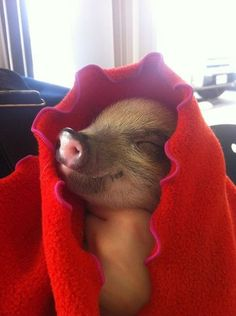 Happy as a pig in a......BLANKET!!! fuck thats so freaking cute