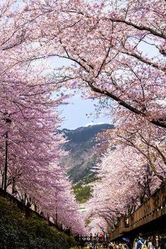 Sky on the cherry blossom door, Jinhae, Korea
