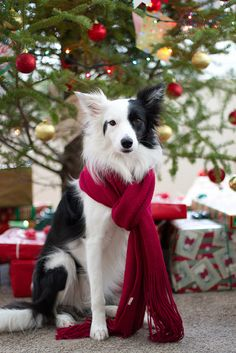 500 Christmas Dog Ideas Christmas Dog Christmas Animals Cute Animals