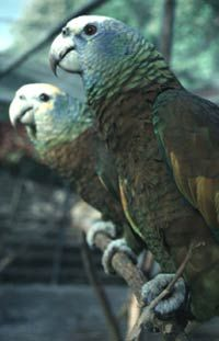St. Vincent Amazon parrots - wild population growing from captive bred birds