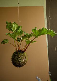 Fedor van der Valk bedacht een tuin voor aan het plafond. String gardens groeien op een bolletje en hangen aan een draadje.    De kokedama, een hype in Japan, was de inspiratie voor Fedor van der valk die de String Gardens bedacht. Hij ging op dit idee door en experimenteerde met allerlei soorten mos en (turf)aarde en verschillende haakwerk technieken.   Kokedama's zijn planten die uit een bol komen van mos en aarde. Kokedama betekent ook letterlijk: mosbal.     Prachtig, luchtig…