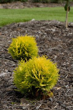 "Anna's Magic Ball Arborvitae - cheery green year-round, happy in both shade and sun, evergreen, maintains a compact mound (10-15"" around)."