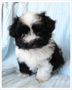 Mixed breed teacup puppy