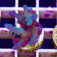 Purple Turaki Acropora Glass Aquarium, Aquarium Design, Marine Aquarium, Reef Aquarium, Coral Frags, Sps Coral, Coral Tank, Saltwater Tank, Saltwater Aquarium