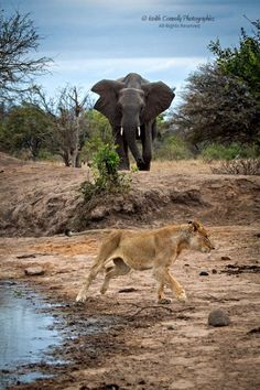Connelly, Keith - Disgruntled Elephant Chases Lion
