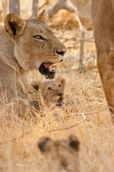 """When Two Prides Meet - The New Pride's Cub - Just Visible in The Grass.""  (Written By: The Photographer:  © Isbjorn Viot.)     Moremi National Park, Botswana, Africa."