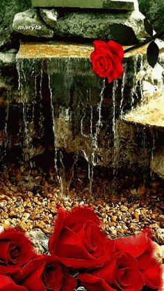 Red rose fall .