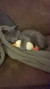 Resultado de imagen para RUSSIAN BLUE CAT HUGS