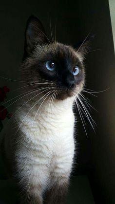 Miss my Kai....Beautiful siamese cats!!!