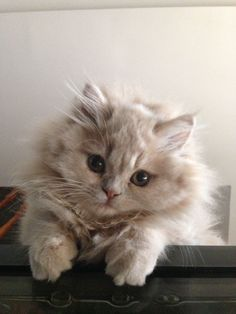 Cream doll face persian kitten instagram.com/dollfacemadison #PersianCat