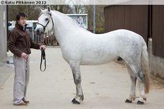 Connemara - stallion Banks Timber